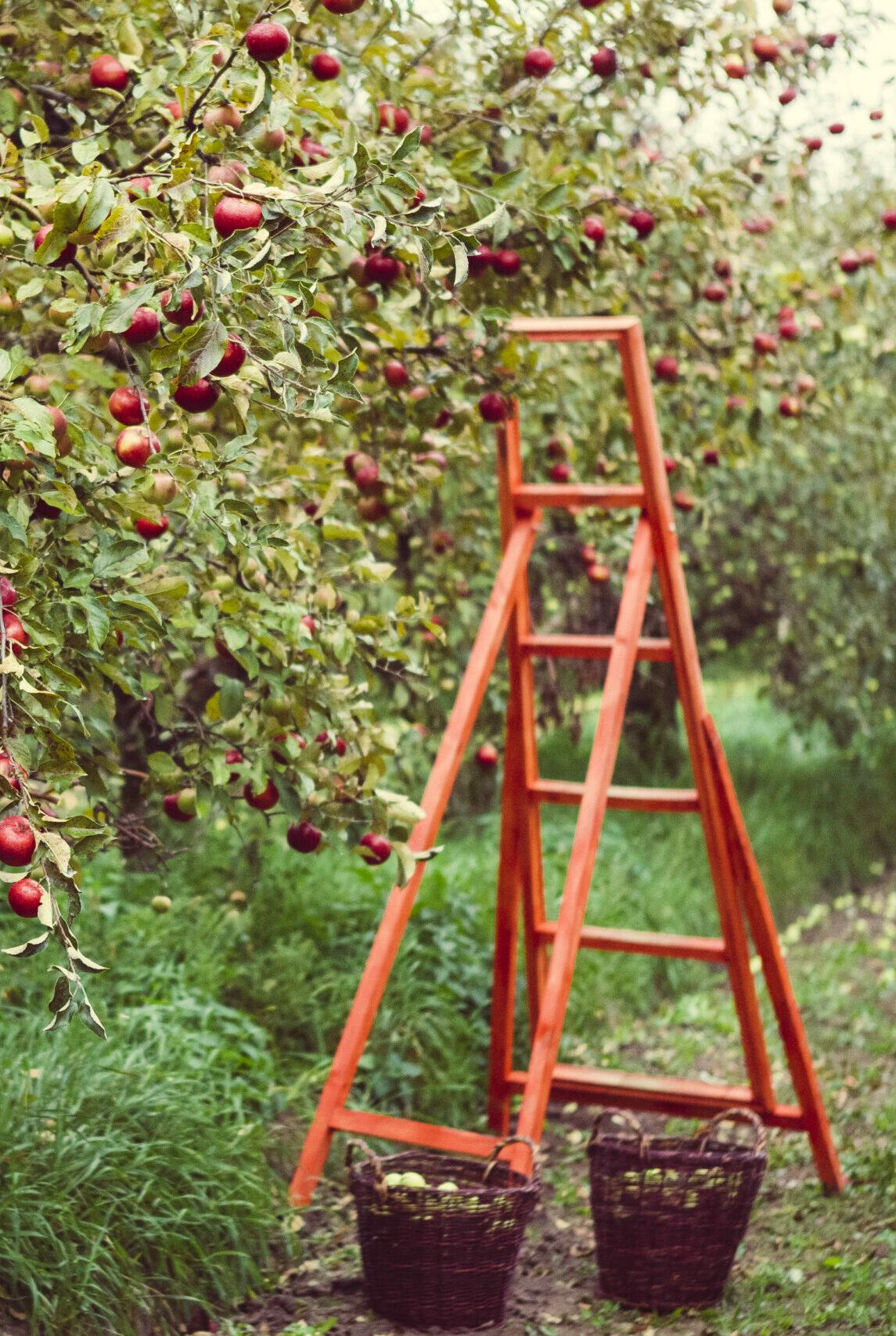 Bountiful harvest in apple orchard